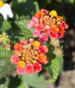 Lantana Eat The Weeds And Other Things Too