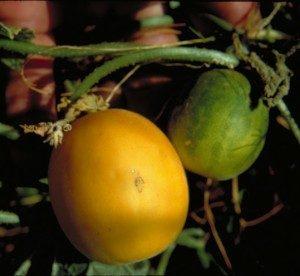 The Duraim Melon, Cucumis melo var. dudaim
