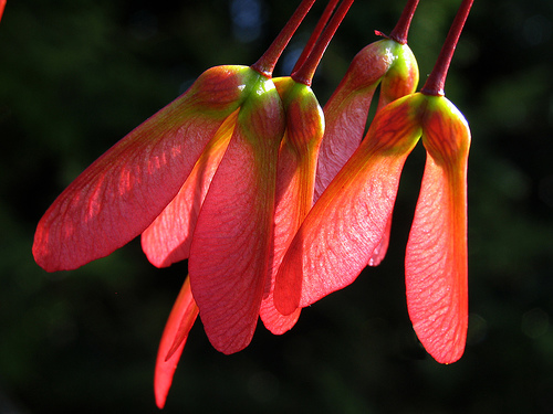 Maple seeds are edible