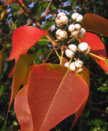 Chinese Tallow Tree with ripe fruit and fall colors.