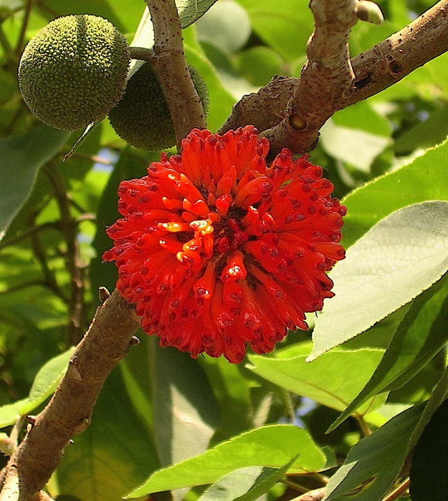 It is not surprising that the Paper Mulberry is related to the Breadfruit.