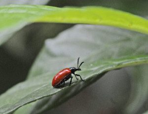 There are big hopes that the like Air Potato Beetle can make a dent in the invasive plant.