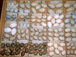 Part of Ralph's egg collection, photo courtesy of Carrol Henderson