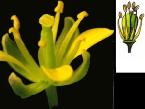 This close up shows the female part of the flower in the middle, four tall stamen and two short ones.