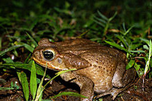 Cane toads are edible if cleaned correctly.
