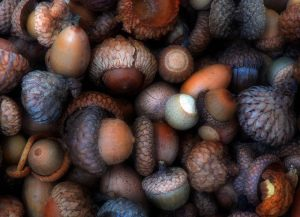 There's a wide variety of acorns and flavors.