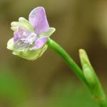 Doveweed, Murdannia nudiflora,