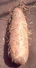 Winged Yam Roots can easily weight 30 pounds.