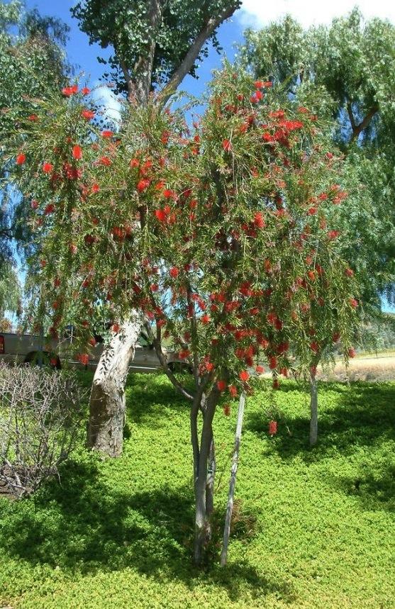 Bottlebrush Tree, photo by Jerry Sortomme SBCC