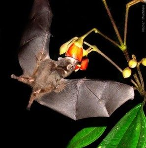 Geoffery Tailless Bat