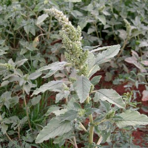 The Amaranth has a seed spike
