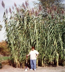Arundo donax is also called Oboe Grass because it's used to make reeds for woodwinds.