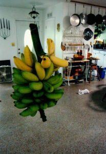 Bananas ripening as Oliver Whitecat supervises.