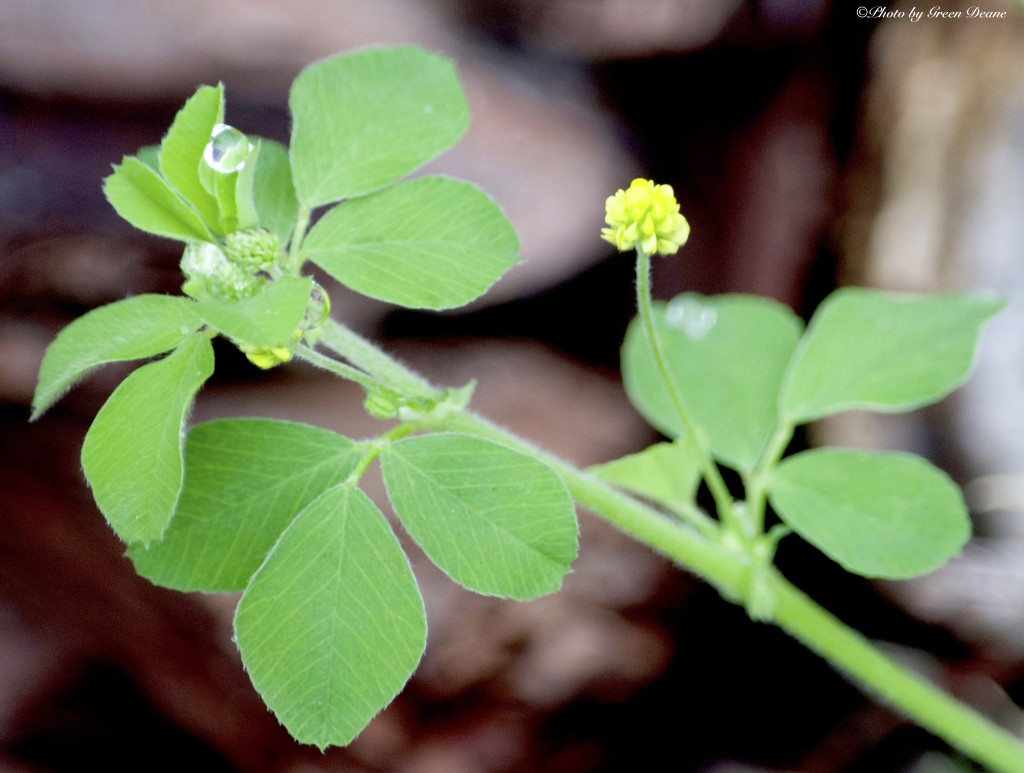 Black Medic resembles hop clover. Photo by Green Deane.