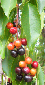 Black Cherry ripen unevenly. Photo by Green Deane
