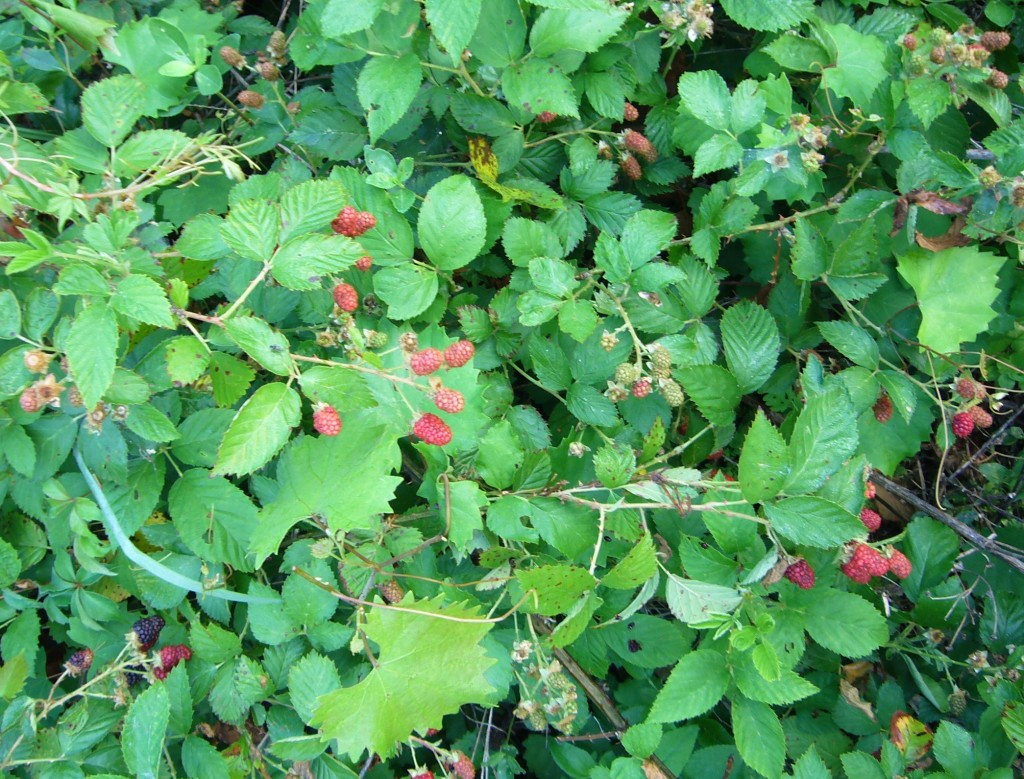 Locally, blackberries are coming into season. Photo by Green Deane