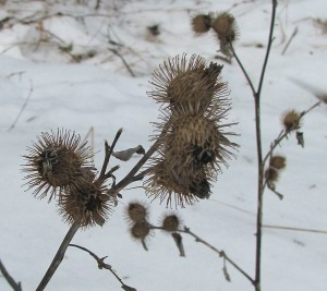 Finding Burdock in Winter is Easy