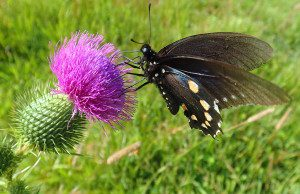 A butterfly foraging for nectar. Photo by Green Deane