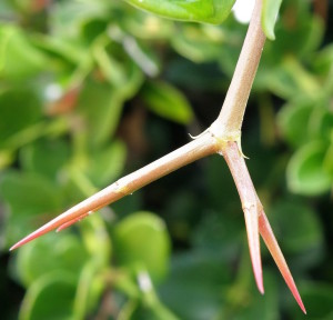 Natal Plums have double sets of thorns.