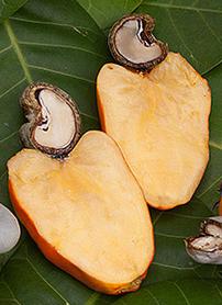 Cashews shells have caustic acid.