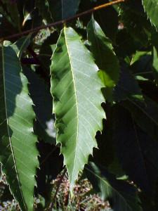 Chestnut leaf has large teeth