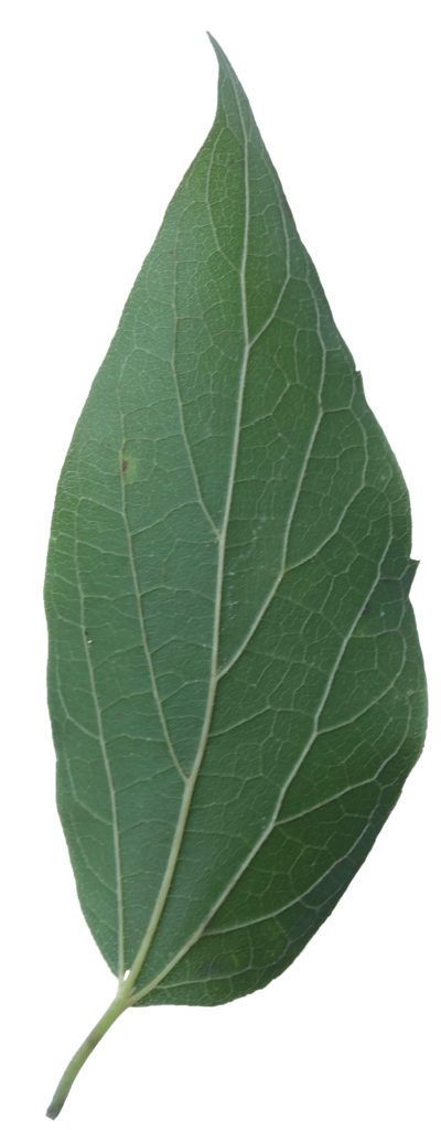 Note the uneven leaf shoulders and three main veins at the base of the leaf.