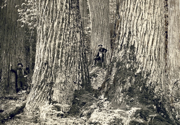 Before the fall: American chestnuts in the Great Smokey Mountains of North Carolina in 1910.
