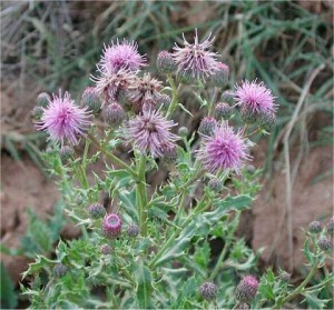 Cirsium arvense1