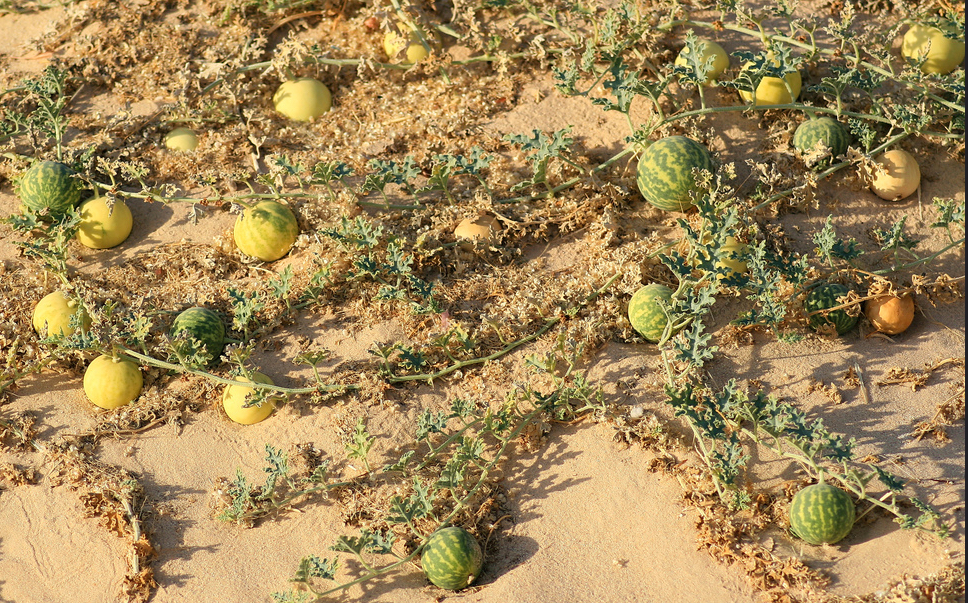 Wild Melons. Photo by Rain and Dust.