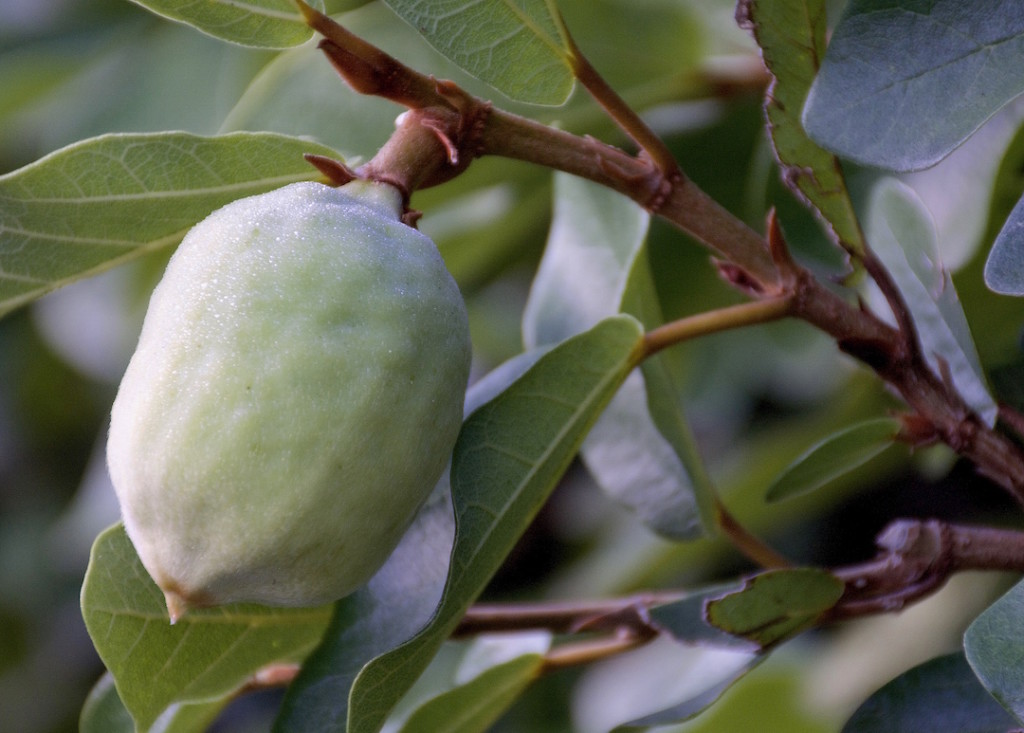 Unripe climbing fig fruit is much maligned in English. Photo by Green Deane