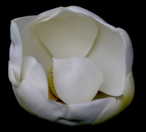 Do you know what to do with a Magnolia blossom? You would if you followed the Green Deane Forum.