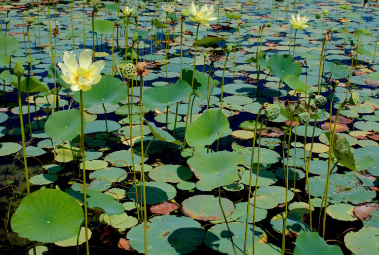 Yellow American Lotus can be very prolific covering an entire pond. Photo by Green Deane