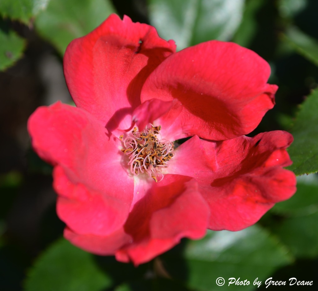 Roses have the classic five petals. Photo by Green Deane