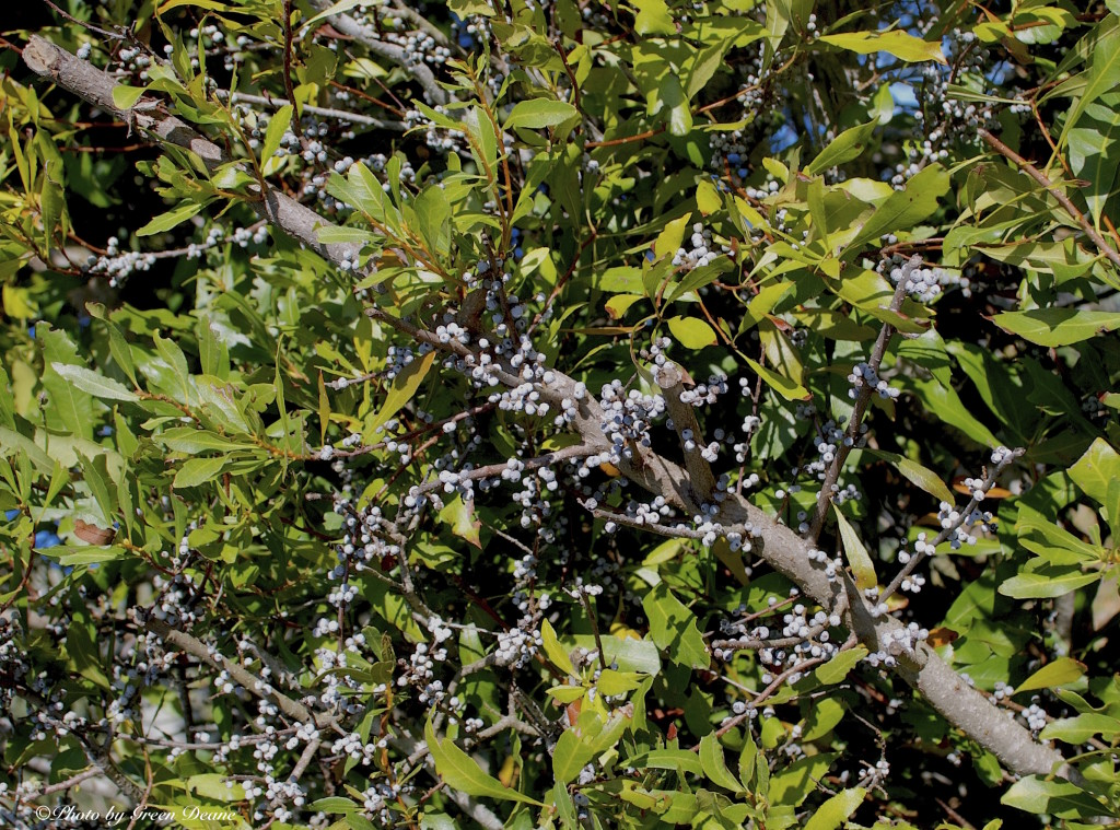 Southern wax Myrtle Berries. Photo by Green Deane.