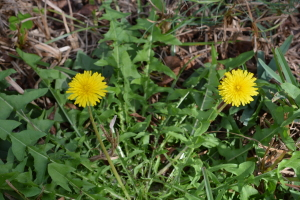 Dandelions are a common wild edible covered in the DVDs.