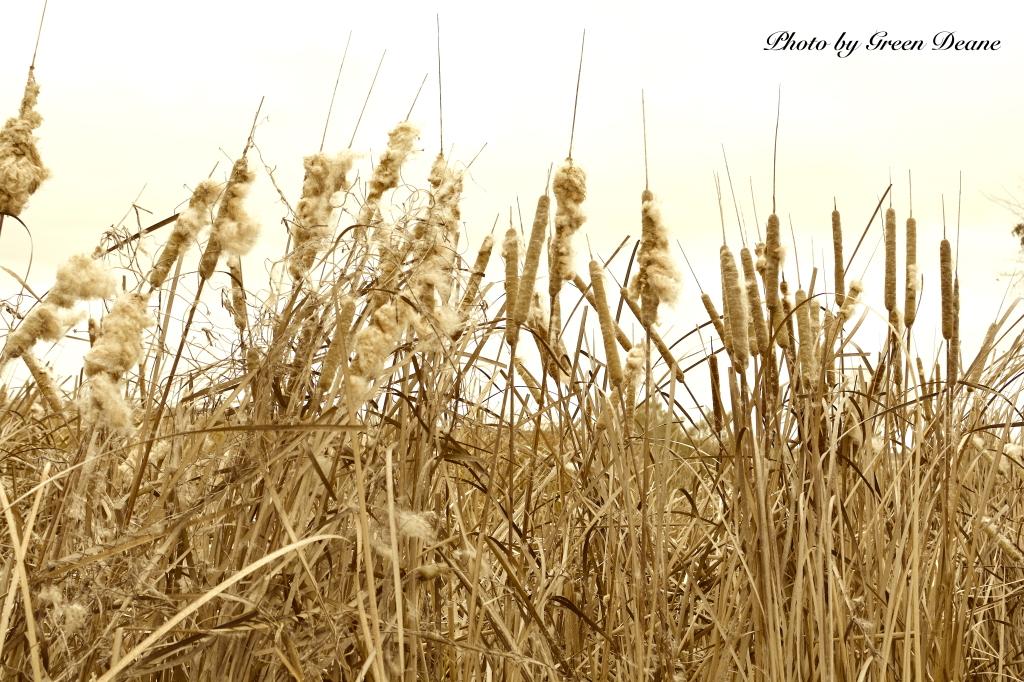 Winter Cattails, Savannah Wild Life Refuge. Photo by Green Deane.