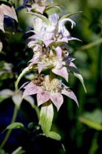 Horsemint make a spice and tea. Photo by Green Deane