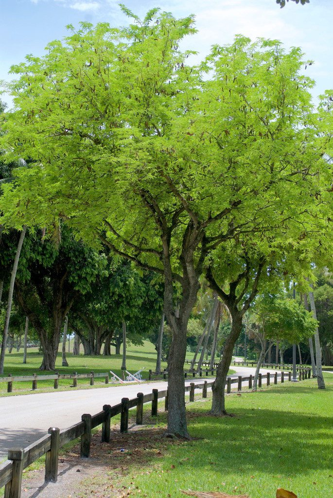 Tamarind Trees in West Palm Beach. Photo by Green Deane