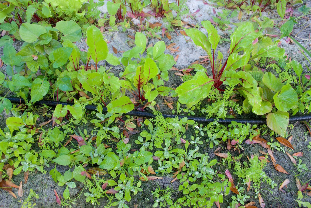 Can you identify several young edible weeds in the photo?