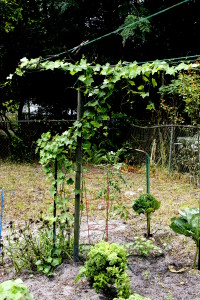 An old clothes line is an excellent location for your Ivy Gourd.