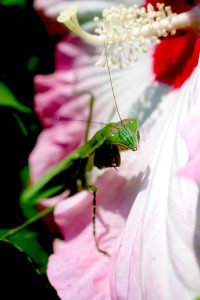 The Preying Mantis is not edible but the blossom it's on is. Photo by Green Deane