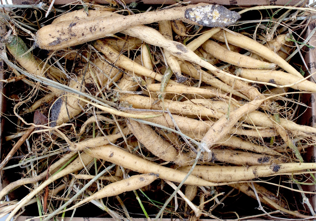 This box of roots might be edible. Photo by Green Deane