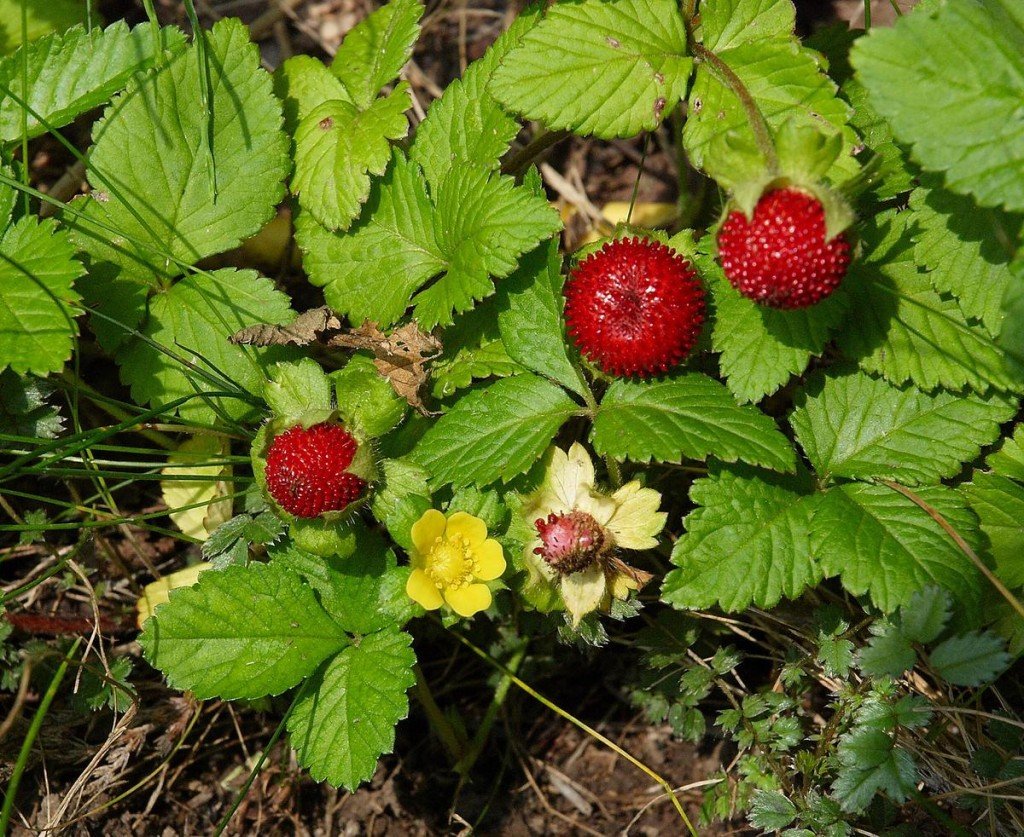 Indian Strawberry Eat The Weeds And Other Things Too