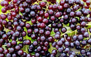 Elderberries make good pies, jelly, and wine. Photo by Green Deane