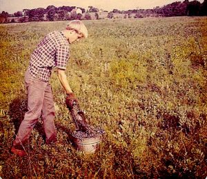 Harold Grandholm empties blueberries in a field on the Merrill Road in Pownal Maine about 1969.