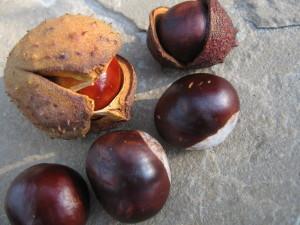 Non-edible Horse Chestnut