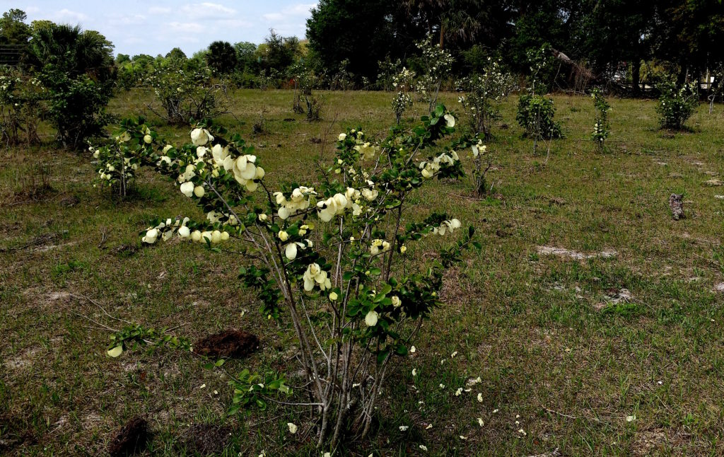 A pasture full of Pawpaws. Every yellow blossom in this photo is a paw paw. Photo by Green Deane