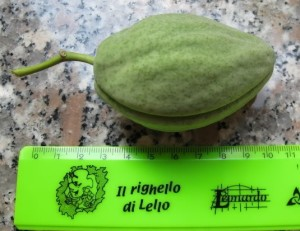 The tasty vegetable of the Latex Strangler Vine. Photo by Compagnia del Giardinaggio.