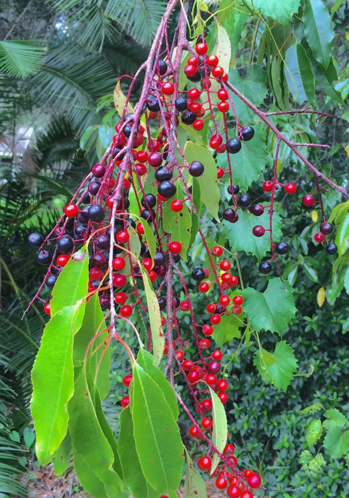 You can still find fruit Black Cherries. Photo by Green Deane