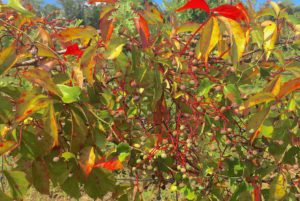 Do you know what these poisonous berries are? You would if you read the Green Deane Forum.